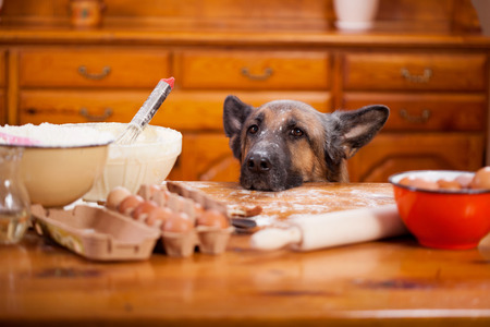animals and pets: Big shepherd dog stealing from table in the kitchen