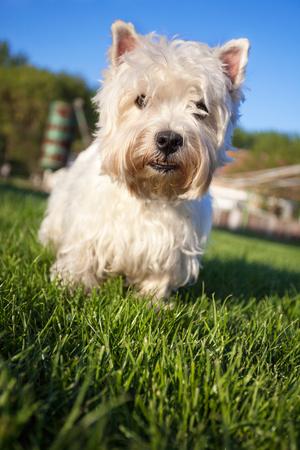 cute westie: beautiful West Highland White Terrier on green grass