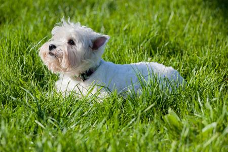 mujer perro: perro de Westie en la hierba verde