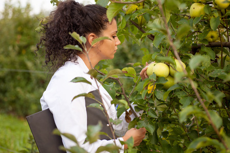 Agronom in Apfelplantage und die Gesundheit der Apfelbäume Überprüfung
