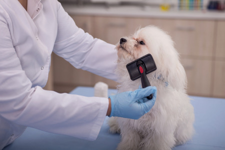 hanky: grooming of a cute purebred puppy,Maltese Stock Photo