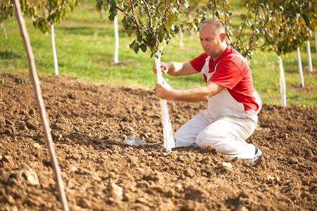 farmer putting Wire Cage Around Fruit Tree