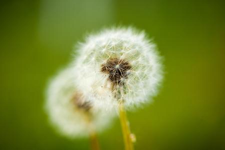 Dandelion seeds on green background
