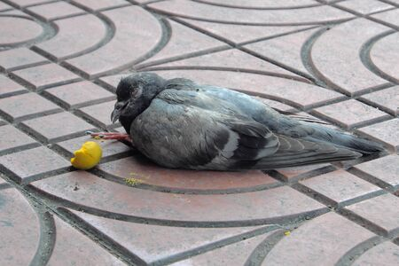 dying: ill pigeon dying on the walkway