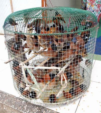 cruelty: Many captive cruelty birds in little cage