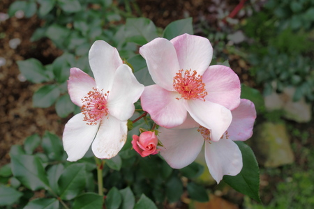 florescence: Pink rose blooming, florescence dog rose