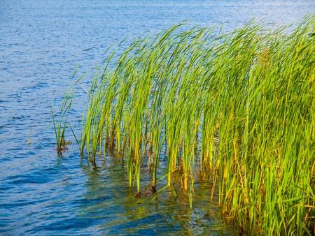 republik: Lake grass in Komarov lake  Czech Republik