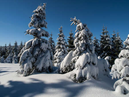 Spruce forest in winter time  Czech Republic  photo