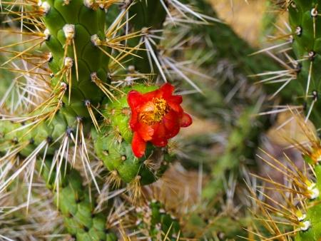 urubamba valley: Blooming cactus in Urubamba valley  Peru