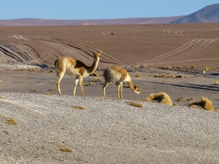 Two vicunas in southern Altiplano  Bolivia  photo