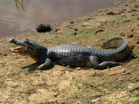 Aligator at the river  Bolivia  photo
