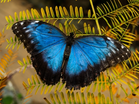 Typical beautiful blue morpho butterfly photo
