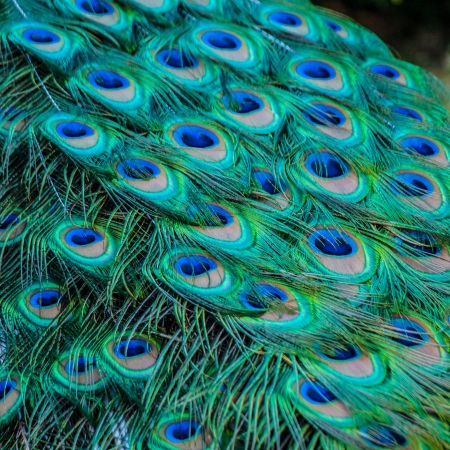 Detail of colored peacock tail