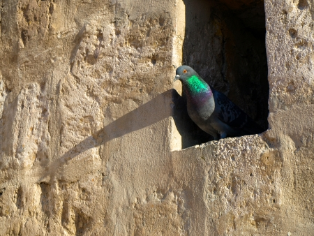 pigeon holes: Pigeon sitting in the hole