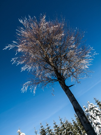 Frozen beech tree in winter time sunny day photo