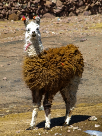 Llama - typical and funny south american mammal (Bolivia) photo