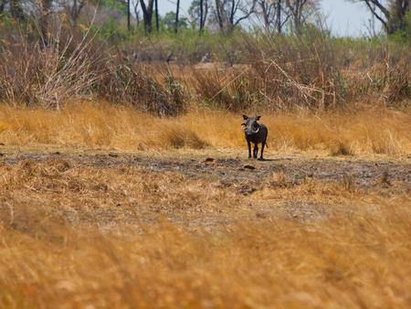 safari game drive: Warthog (Phacochoerus africanus) nella savana il game drive safari