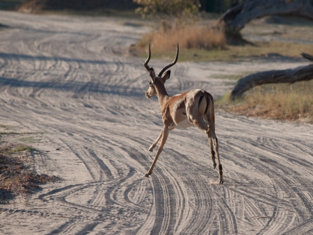Running impala in october evening photo