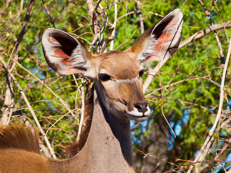 Female kudu antelope (Moremi Game Reserve, Botswana) photo