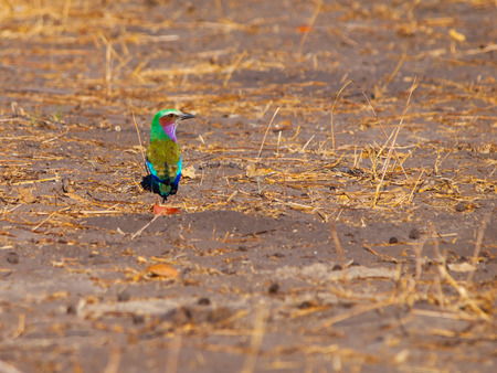 Lilac-breasted Roller (Coracias Caudatus) - beatifully coloured bird of Africa photo