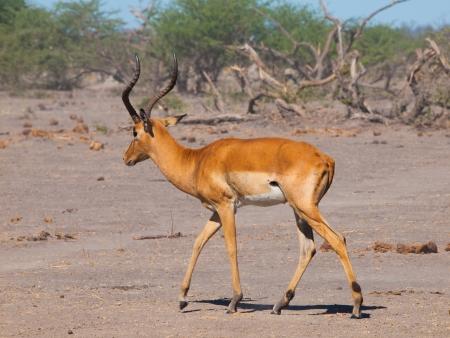 Young impala on safari game drive (Chobe National Park, Botswana) photo