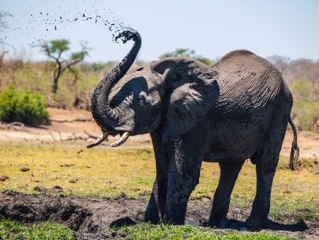 Elephant mud splash on african sunny day