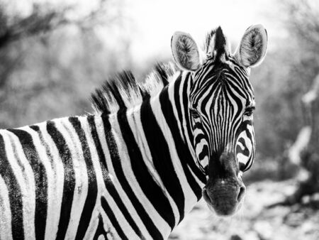 Zebra portrait in black and white (Moremi Game Reserve, Botswana) photo