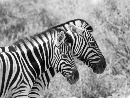 Two zebras walk in savanna photo