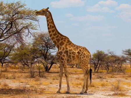 Eating giraffe on safari wild drive Standard-Bild