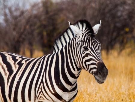 safari game drive: Zebra visualizzato su game drive safari Archivio Fotografico