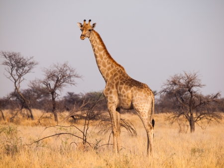 Giraffe in savanna (Etosha national park, Namibia)
