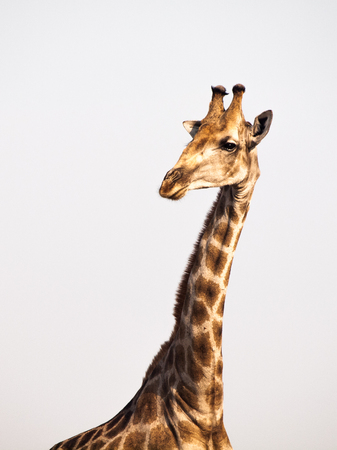 Giraffe portrait on safari wild drive photo
