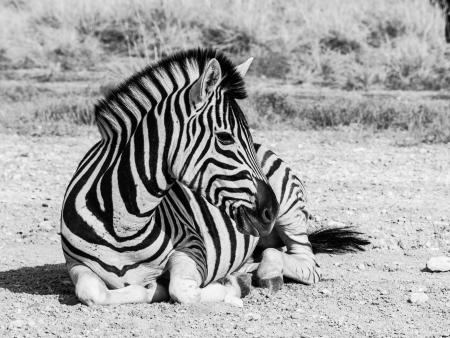 Lying zebra in black and white (Moremi Game Reserve, Botswana) photo