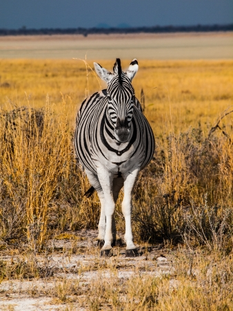 Front view of zebra in sunny day photo