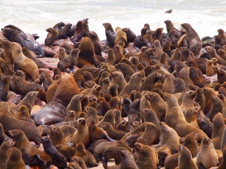 Brown Fur Seal colony at Cape Cross in Namibia (Arctocephalus pusillus) Imagens - 24734877