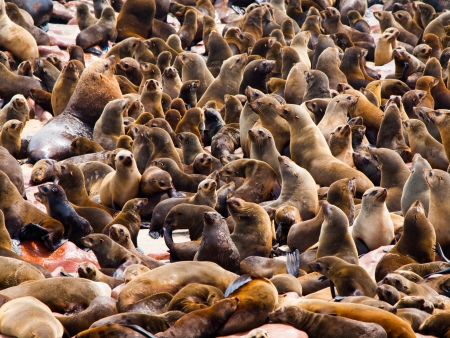 Brown Fur Seal colony at Cape Cross in Namibia (Arctocephalus pusillus) photo