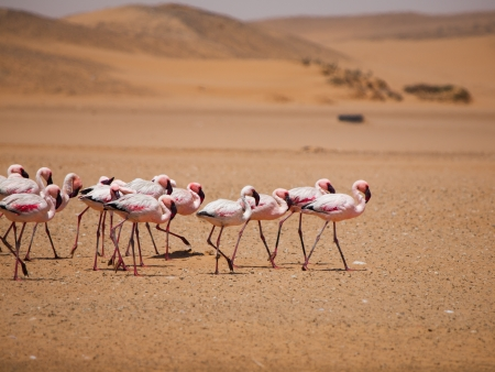 Flamingo march in Namib desert (Walvis Bay, Namibia) photo