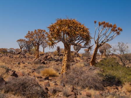 quiver: Kokerboom forest with aloe (quiver) trees near Keetmanshoop (Namibia) Stock Photo