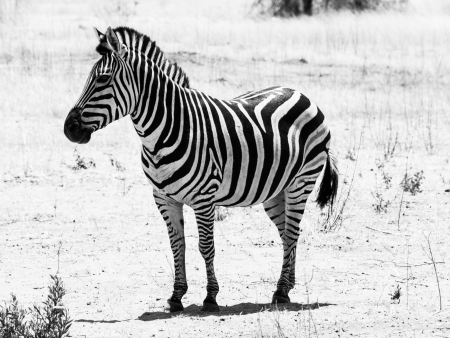 Zebra viewed on safari game drive (black and white) photo