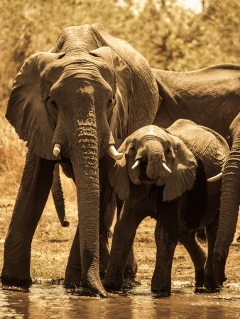 Two african elephants at water hole (sepia photography) photo