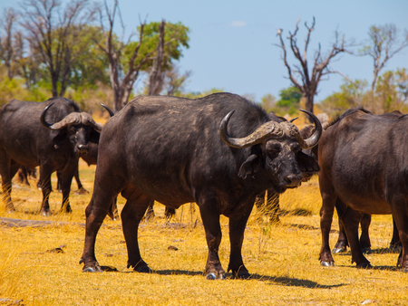Herd of buffalos in grassands of Okavango delta photo