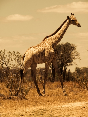 Giraffe in savanna (Moremi Game Reserve, Namibia) photo