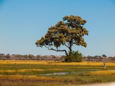 chobe: Lonesome tree in Savuti marshes (Chobe National Park, Botswana) Stock Photo