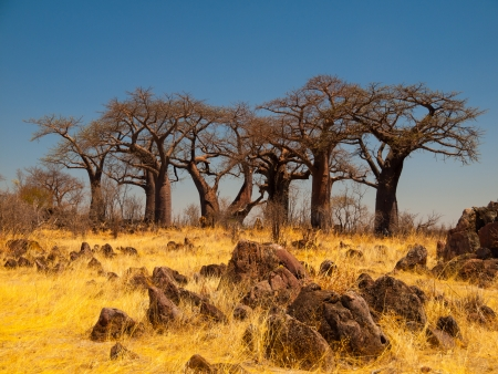 kalahari: Group of baobab trees in Baobab Paradise near Savuti (Chobe National Park, Botswana)
