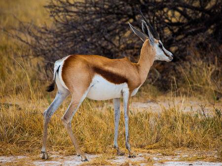 Young impala on safari game drive (Etosha National Park, Namibia) photo