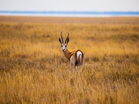 safari game drive: Giovane impala su game drive safari (Parco nazionale di Etosha, Namibia) Archivio Fotografico