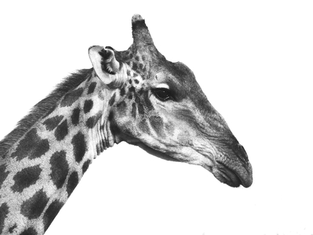 Giraffe portrait in black and white (isolated) photo