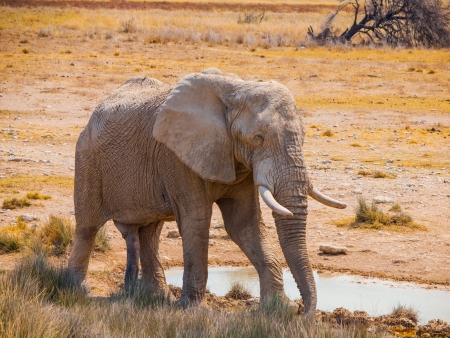 Thirsty elephant at water hole