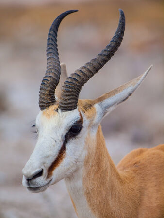 marsupialis: Portrait of young springbok antelope  Antidorcas marsupialis  Stock Photo