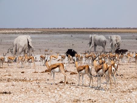 Many animals at waterhole  elephant, springbok, ostrich  im Etosha National Park  Namibia